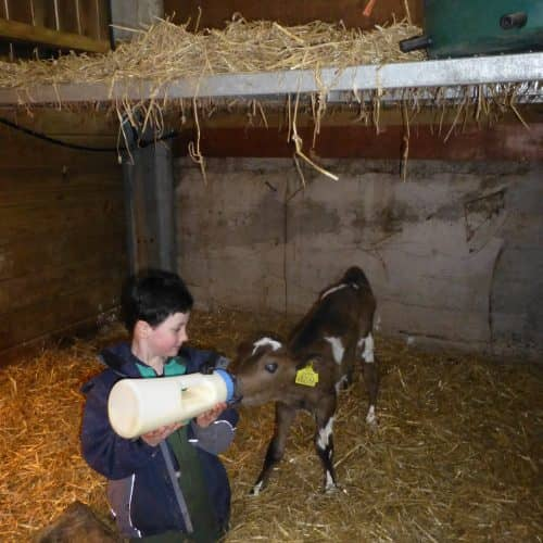 Calf Feeding Bampfield Farm can be enjoyed by all the guest.