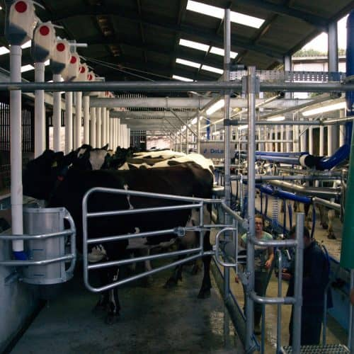 The cows being milked at Bampfield Farm Holiday Cottages in North Devon.